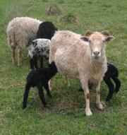 Бараны и овцы для разведения и на убой