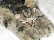Котята Мейн Кун - чистокровные американцы.